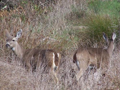 20070204 Deer