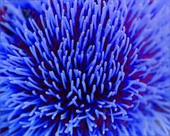 Artichoke Flower macro (Rehula) Tags: flower artichoke nikonstunninggallery wwwgardeningcareconr httpwwwgardeningcarenet fiveflickrfavs
