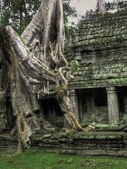 Angkor Wat Tree