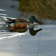 Northern Shoveler Silver Thread (Fort Photo) Tags: bird nature birds animal colorado searchthebest fort wildlife birding fortcollins ducks aves ave co collins ornithology northernshoveler avian 2007 anasclypeata anatidae anseriformes dabblingduck anatinae birdphoto abigfave impressedbeauty isawyoufirst