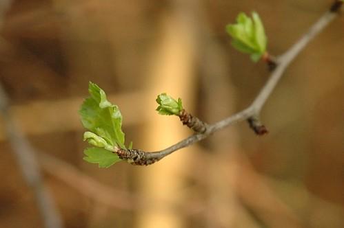 Meidoorn - Crataegus monogyna
