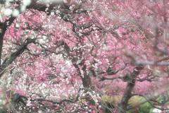 plum - by idua_japan