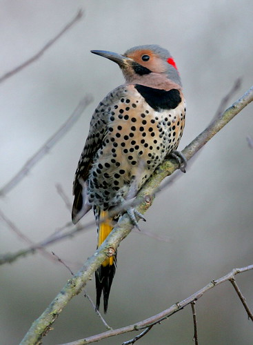 Northern Flicker  By Mark Trabue