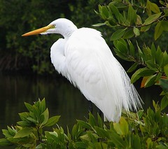 Great Egret (Sandra Leidholdt) Tags: wild naturaleza bird nature birds florida alba wildlife natureza great aves explore ardea aquatic egret waterbirds oiseaux divingbirds sandraleidholdt leidholdt sandyleidholdt