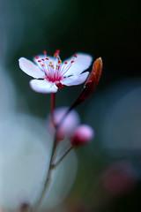 Plum Blossom (cindyloughridge) Tags: blossom plum project365 nikonstunninggallery 29365 simpleelegance springisjustaroundthecornerinmybackyard fiveflickrfavs