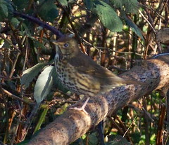 Thrush in Russia Dock Woodland
