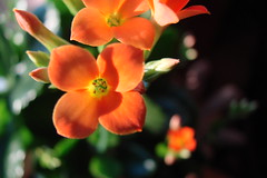 Orange  kalanchoe flower in pot, focus on stigmas and anthers (Martin LaBar (going on hiatus)) Tags: flowers orange flower macro southcarolina kalanchoe crassulaceae stigma anther anthers pickenscounty stigmas 25faves 5for2