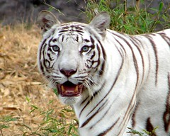 White Tiger... On Explorer (K. Shreesh) Tags: topf25 animals bravo tiger explorer save whitetiger wwf protect naturesfinest sonydsch1 parkstock supershot flickrsbest specanimal animalkingdomelite abigfave nohunt impressedbeauty superaplus aplusphoto superbmasterpiece diamondclassphotographer flickrdiamond superhearts frhwofavs beautifulworldchallenges vosplusbellesphotos flickrbigcats