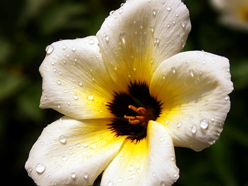 drops on the flower..