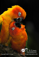 Sun Conure: Love at first sight  #3 (cslingphotography) Tags: sun love kiss sweet romantic conure sunconure anawesomeshot superbmasterpiece avianexcellence diamondclassphotographer flickrdiamond brisbanebirds birdphotographywildlife
