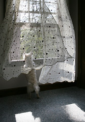 Window Watching (StormyinGA) Tags: window katie westie westhighlandwhiteterrier bedroomwindow springbreeze