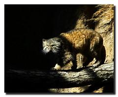 Pallis Cat - by nailbender