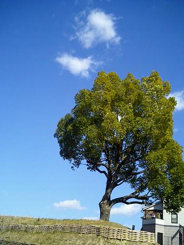 丘上的樟樹