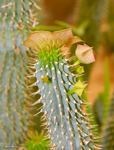 Hoodia gordonii flower & buds by Martin_Heigan