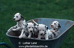 Dalmatiner (Lothar Lenz) Tags: dog chien pet pets cute animals cane puppy mammal tiere puppies funny sweet perro hund neat domesticanimals mammals juvenile haustier hunde haustiere suess carnivores niedlich juvenil geschwister welpe canis welpen whelp dalmatiner droll brothersandsisters younganimal putzig possierlich domesticanimal jungtier domesticdogs younganimals saeugetier saeugetiere beastsofprey hundewelpen haushund drollig tierkinder jungtiere whelps lotharlenz tierjunges tierjunge haushunde hundewelpe hundwelpe hunddalmatiner