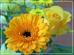 Sunshine Yellow (welshlady) Tags: flowers sunshine rose yellow wow ilovenature memorial dof gerbera 100views bloom 300views 200views bandstand canola excellence standingovation helluva naturesfinest captainscott blueribbonwinner top20macroshots welshlady 10faves 25faves mywinner flickrgold shieldofexcellence impressedbeauty welshflickrcymru flickrdiamond