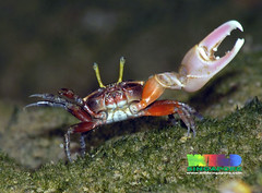 Porcelain fiddler crab (Uca annulipes) (wildsingapore) Tags: nature island marine singapore underwater wildlife stjohns uca coastal shore intertidal seashore crustacea marinelife wildsingapore annulipes ocypodoidea