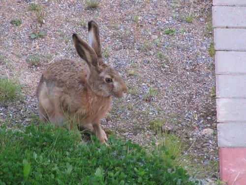 City-hare