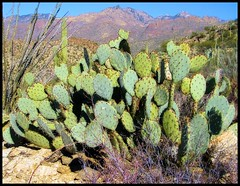 Prickly Pear Heat (ARKNTINA) Tags: arizona cactus mountain mountains southwest nature cacti landscape desert tucson az vista saguaro scrub americanwest coronadonationalforest catalinamountains sabinocanyon tucsonaz tucsonarizona santacatalinamountains naturallandscape desertsouthwest prickleypear randomnature blackettsridge blackettsridgetrail az07 sabinocanyonrecreationarea santacatalinarangerdistrict random6
