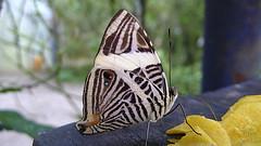 house_20070202_D_14645 (© Steven House www.houselightgallery.com) Tags: house digital butterfly costarica 2007 dircebeauty stevenhouse coloburaddirce houselightgallery