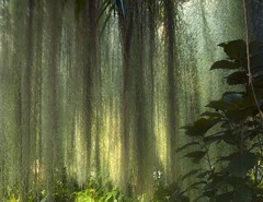 Spanish Moss (Martyn Starkey) Tags: topf25 wow topv555 topv333 questfortherest naturesfinest thebigone instantfave p1f1 colorphotoaward superhearts