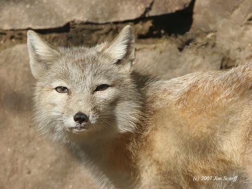 The Tibetan Sand Fox -...