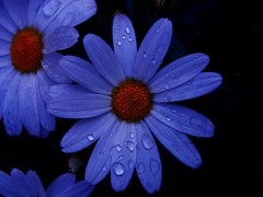 Cosmos flower at night (natureloving) Tags: blue flower night ilovenature bravo shot cosmos natures excellence naturesfinest blueribbonwinner supershot flowerscolors instantfave specnature 25faves anawesomeshot impressedbeauty superbmasterpiece goldenphotographer wowiekazowie diamondclassphotographer flickrdiamond searchandreward natureloving flowersinfrance fleursenfrance