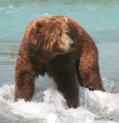 Say What! (bud_marschner) Tags: people by alaska river italian searchthebest bears national soe geographic naturescenes mcneil ngi naturesfinest parkstock outstandingshots flickrsbest specnature specanimal shieldofexcellence supremeanimalphoto superbmasterpiece goldenphotographer bfgreatesthits