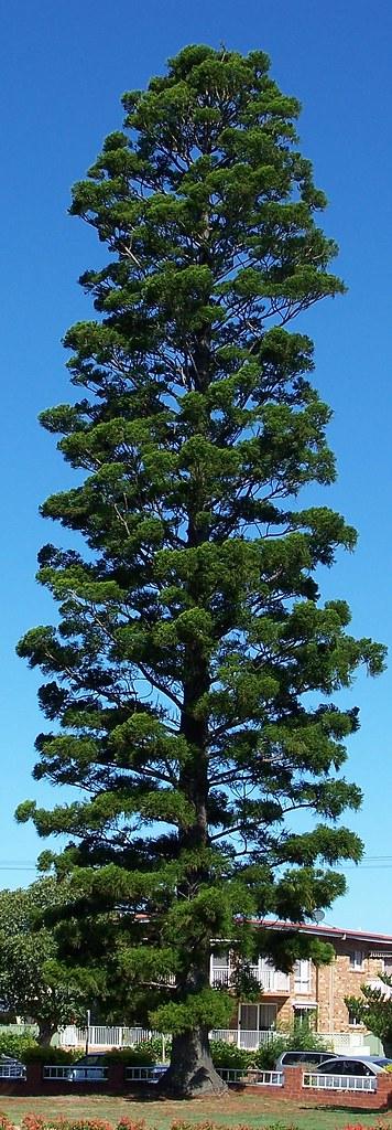Cook Pine - Araucaria columnaris