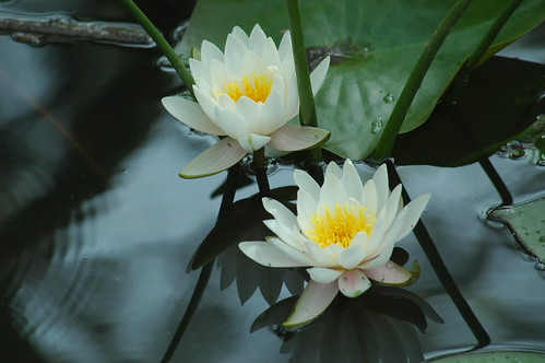 Reflections on 2 Lillies