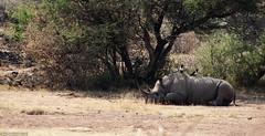 Snoozing rhino