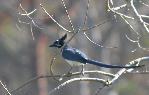 black-throated magpie jay by ehoyer.