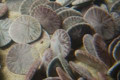 Sand dollars (jezzybelly) Tags: montereybayaquarium montereyaquarium