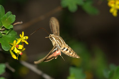 tasting, tasting . . . (JoelDeluxe) Tags: newmexico moth albuquerque honeysuckle nm joeldeluxe southvalley whitelinedsphinxmoth