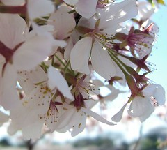 Cherry Blossoms Up Close (desbah) Tags: trees tree washingtondc spring blossoms cherryblossoms crowds tidalbasin impressedbeauty