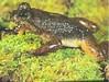 240px-Rheobatrachus_silus