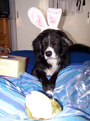 The Easter Collie (Hobby Widow) Tags: dog bunny easter collie chocolate egg ears henry bordercollie milky nestle milkybar