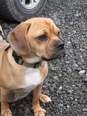 Rigby the Puggle