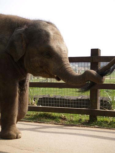 elephant line