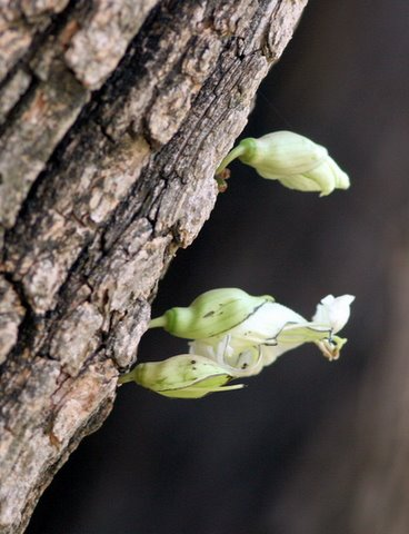 Acacia Flower, Lalbagh 11 Apr 07
