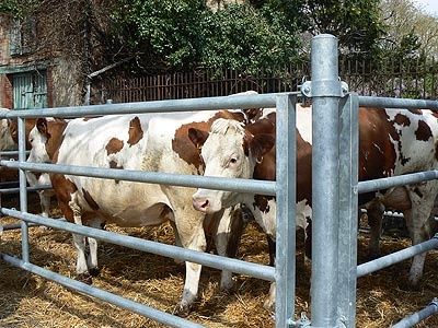 vaches marrons belpech.jpg