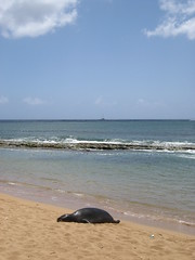 Salt Pond Beach Park Seals11 (gar&sar) Tags: monkseal saltpondbeachpark kauaihawaiivacation