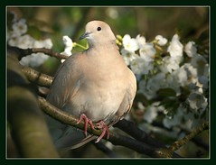 A visitor in the cherry tree (hvhe1) Tags: bird nature animal spring bravo searchthebest blossom pigeon wildlife interestingness57 cherrytree magicdonkey outstandingshots specanimal abigfave hvhe1 hennievanheerden anawesomeshot superbmasterpiece avianexcellence