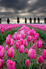 (Rkival) Tags: sky field dark washington state valley tulip skagit whatever haha blueribbonwinner impressedbeauty rejectedexcellence