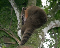 Ring-tailed coati (Nasua nasua) (Lip Kee) Tags: bird aves coati nasuanasua ringtailed wildlifenature nasua ringtailedcoati