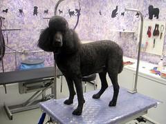 Cole Standard Poodle