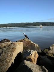 The Pied Cormorant ()x(Nato)x() Tags: nikon australia nsw coolpix gosford p5000