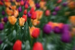 Focus Tulips