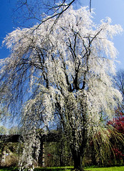 Tree of Dreams (kchbrown) Tags: park bridge blue sky philadelphia bikepath river branches finepix s5200 fujifilm cherryblossoms philly blooming fairmountpark mlkdrive colorphotoaward