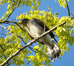 Sparrowhawk in Russia Dock Woodland